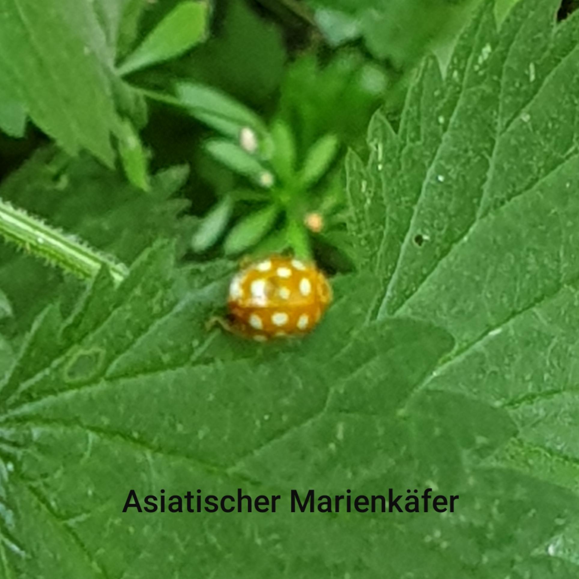 1591269401497-asia-ladybug