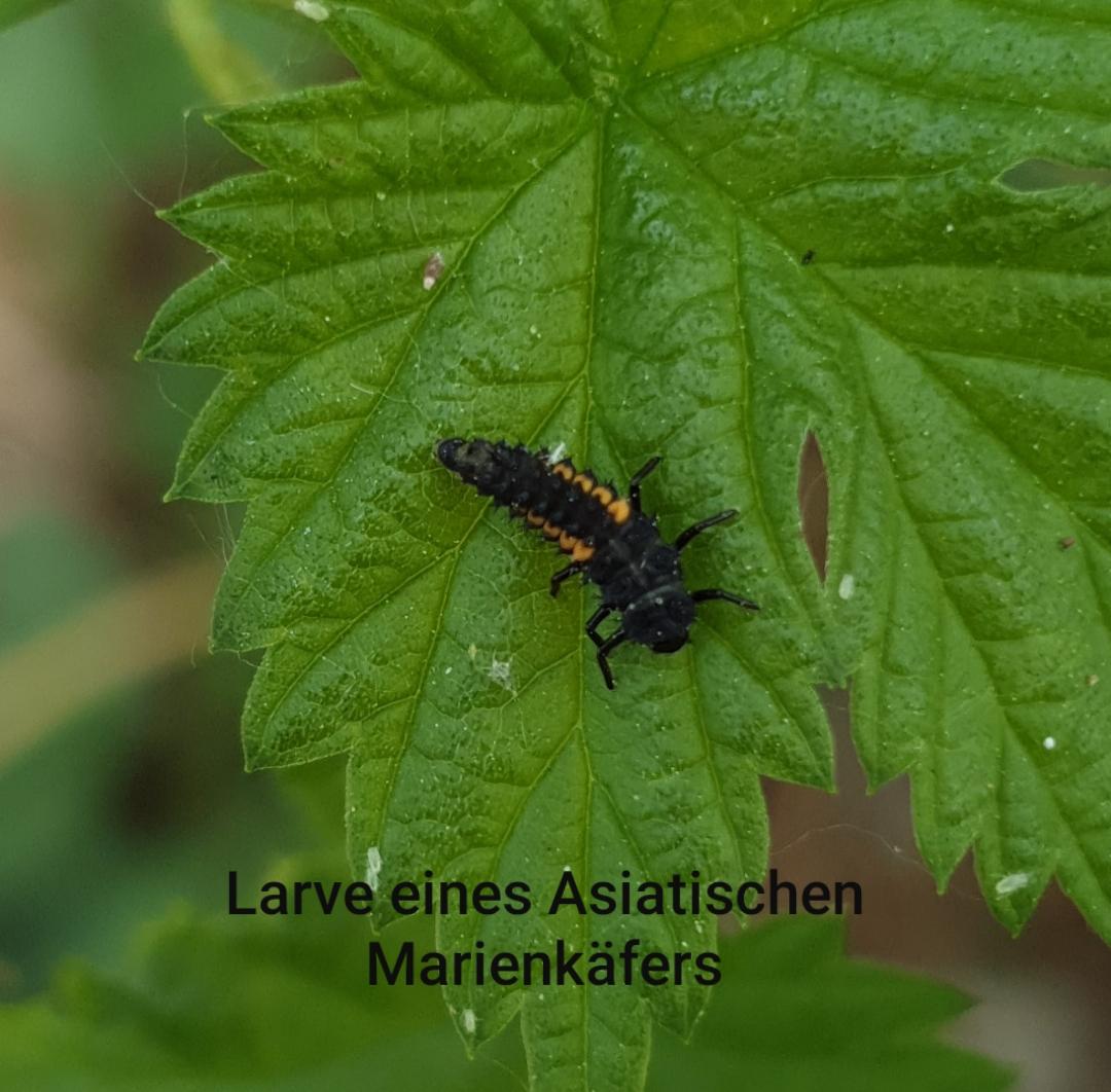 1591269417746-asia-ladybug-2